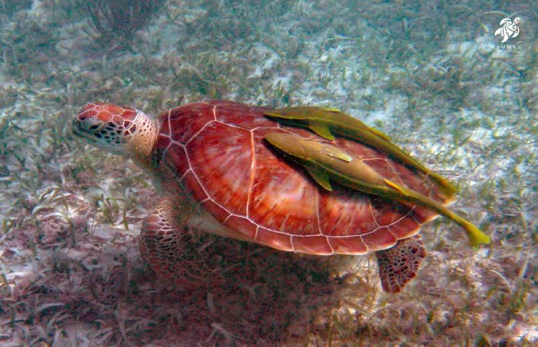 While swimming with turtles in Akumal you may see them with remoras who clean their shells