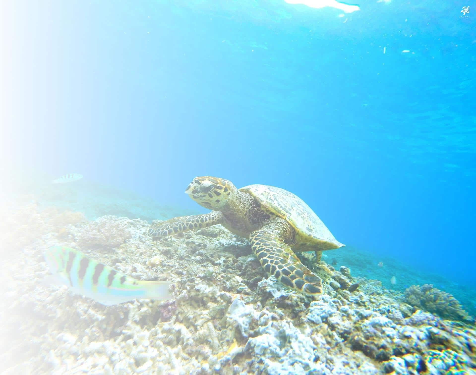 A green turtle forages for food on the reef