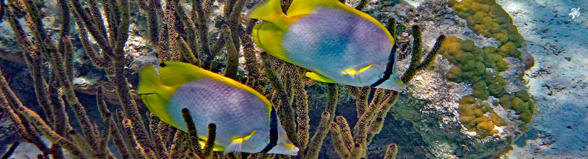 Masked butterfly tangs as seen in Half Moon Bay