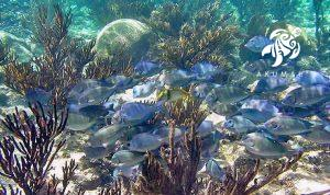 Large schools of Blue Caribbean tangs are a common sight in Half Moon Bay