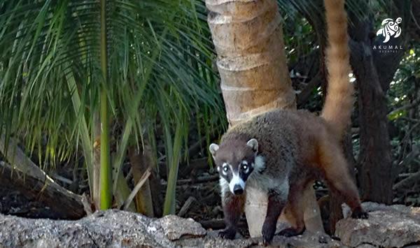 Kudamundi are one of the local mammals that we have in abundance
