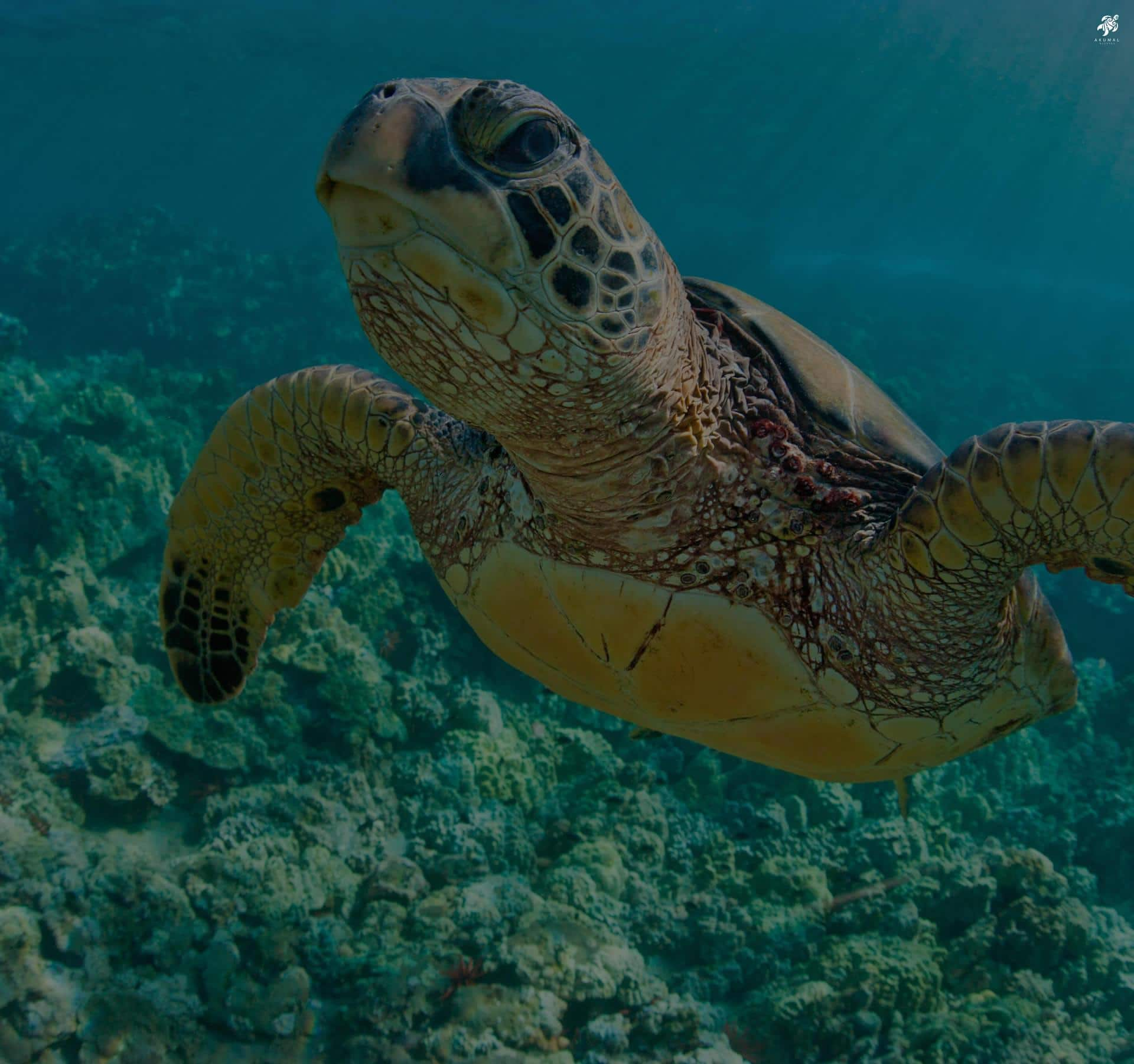 Akumal is home to 3 species of turtles which are often seen in the local reefs