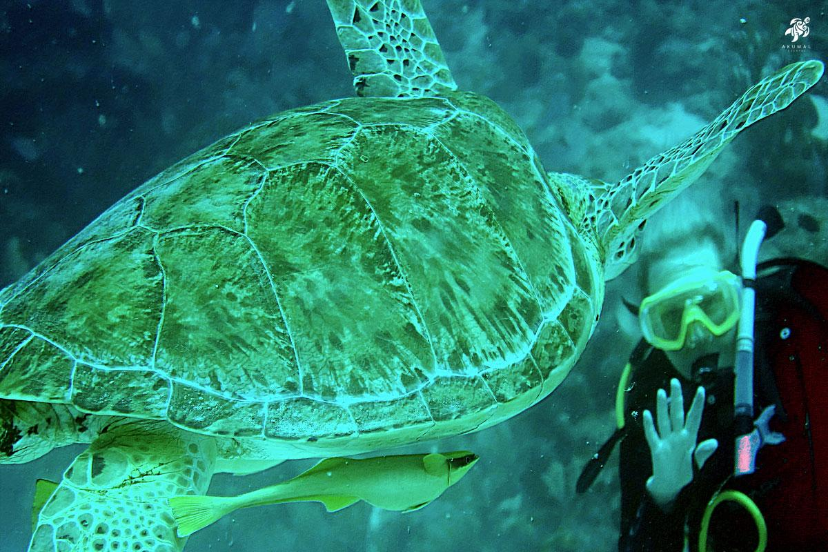 Diving with a Green Turtle is an amazing experience