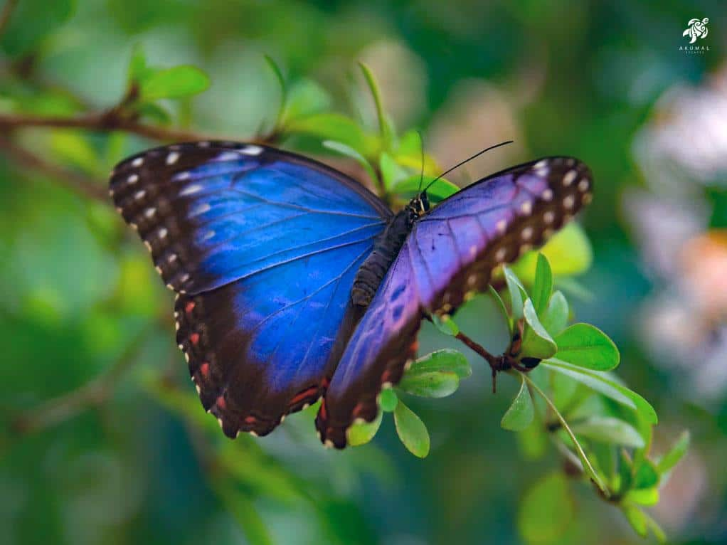A blue morphos butterfly rests in our gardens