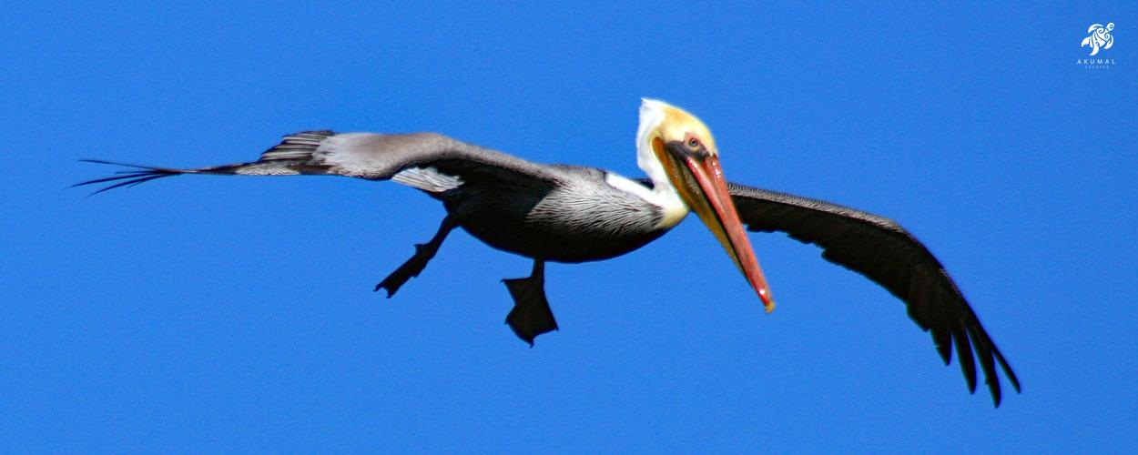 A brown pelican flying over our bay looking for food