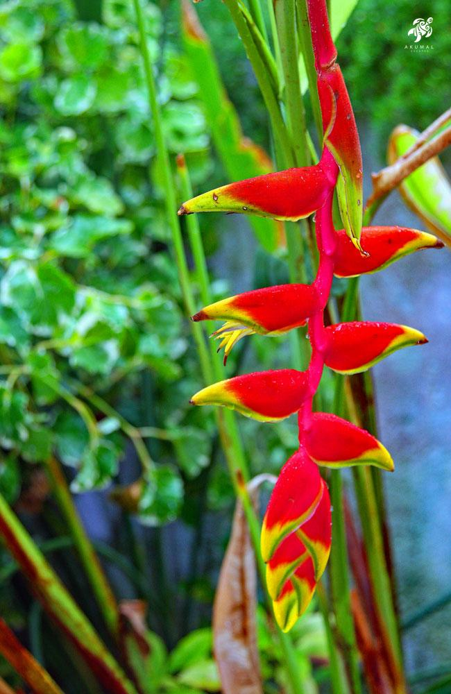 A helonconia (parrot flower) is one of the stars of our gardens