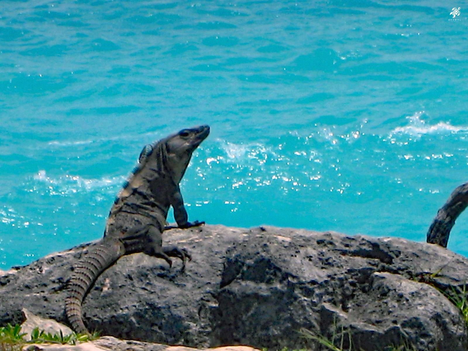One of our local Residents: A Caribbean Iquana sunning himself