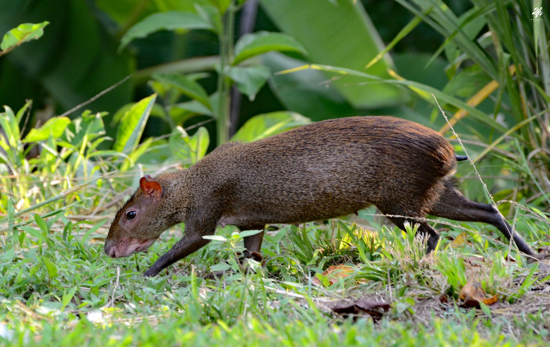 One of our local Residents: An agouti making the rounds in our gardens