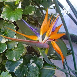 A classic orange bird of paradise bloom next to a variegated ming arealia in La Sirena Gardens