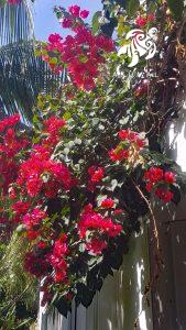 A gorgeous red bougainvillea in full bloom in La Sirena Gardens