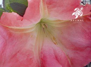 An upclose look at a fragrant peach brugmansia in La Sirena Gardens
