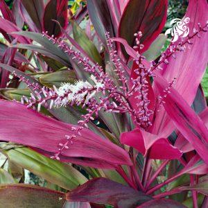 A Cordyline, or Ti Ti plant as commonly known with it's maroon leaves