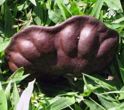 The seedpod of the elephant tree is huge and it's seeds rattle!