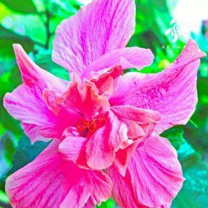 A classic double piunk hibiscous in La Sirena's Gardens