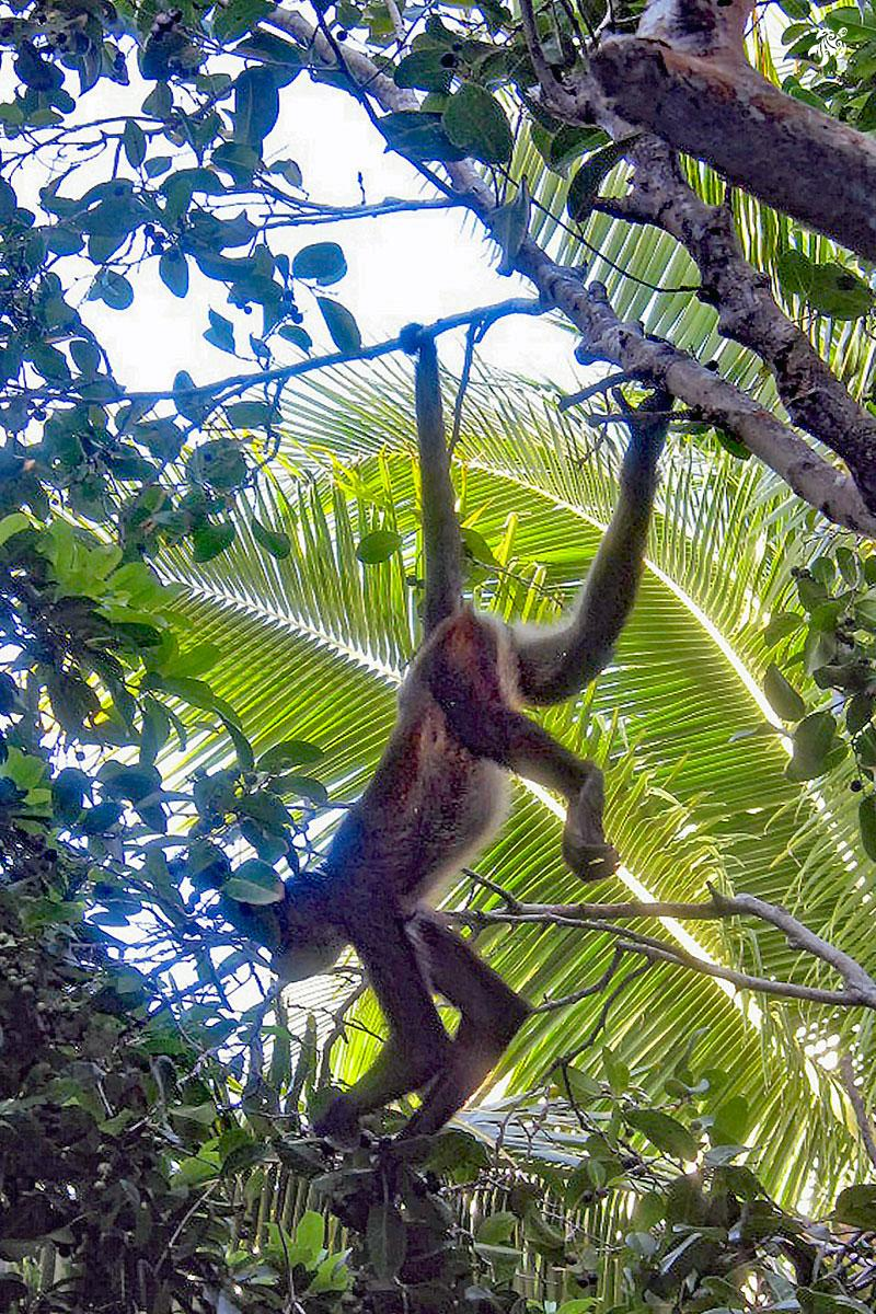 A local spider monkey hanging in our trees.
