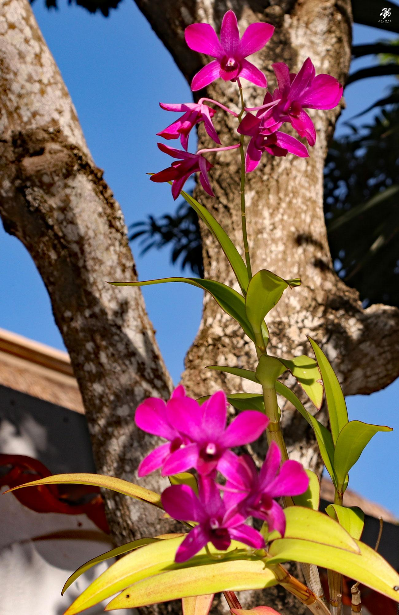 An orchid blooming in La Sirena gardens