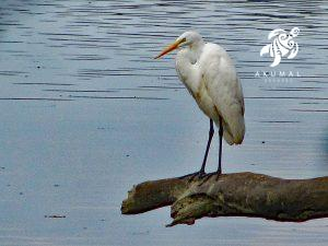 A great white heron looking for dinner just off our reef