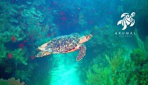 Underwater in Akumal's reef: You almost see a sea turtle such as this one