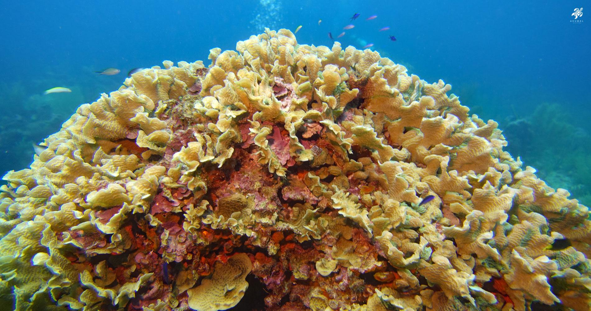 Underwater on the Meso-American reef: A giant coral mass is home to many colorful small reef fish