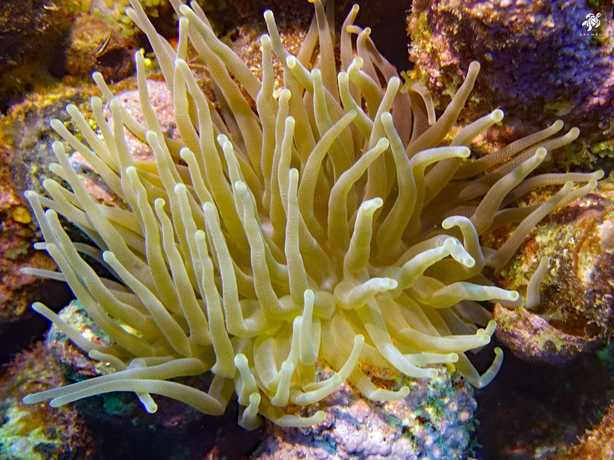 Underwater on the Meso-American reef: Details of a cream colored sea anenome