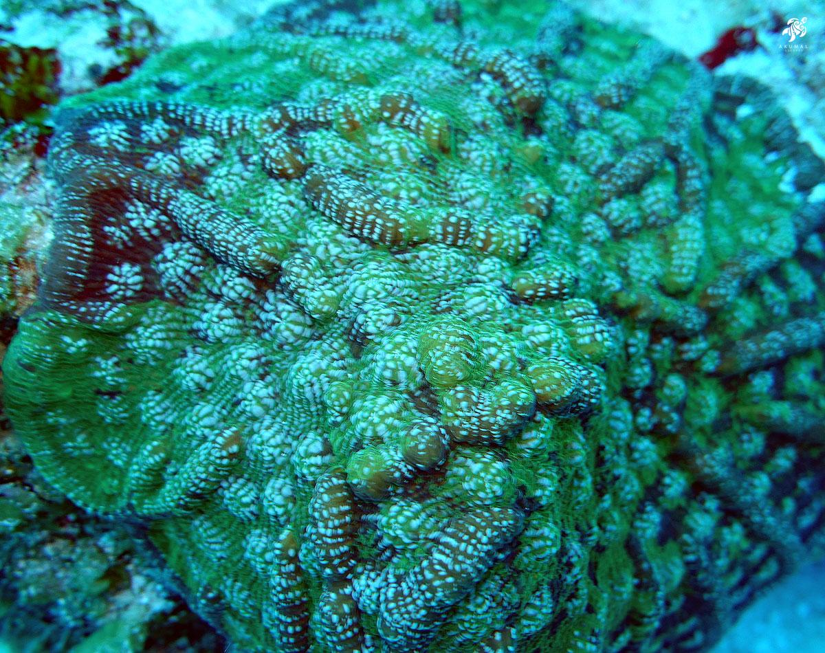 Underwater in Akumal's reef: A closeup of a large hard coral and it's polyps