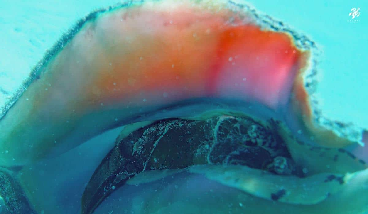 The beauty of a queen conch