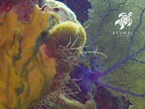 Underwater on the Meso-American reef: The beautiful colors and details os a purple fan and encrusting coral