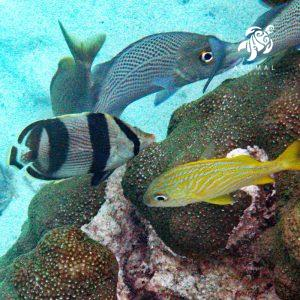 Snorkeling in Akumal: The common fishes and corals