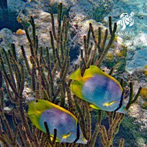Underwater in Half Moon Bay: two masked butterfly fish