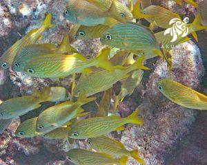 Healthy yellow stripped fish