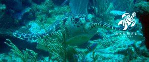Underwater on the Meso-American reef: A green sea turtle being friendly
