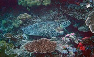 A green sea turtle resting on the coral reefs in Akumal