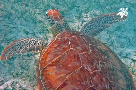 A gorgeous seaturtle, what Akumal is named for