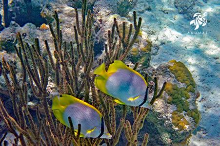 Banded butterfly fish enjoying our clean pristine reeef just off shore La Sirena's beach