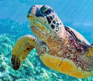 A green sea turtle looks us over as he swims on Akumal's reefs