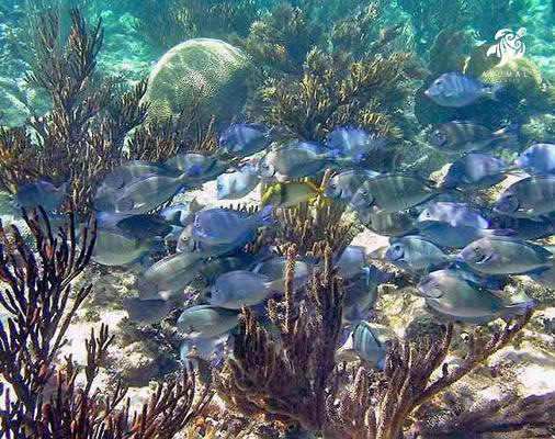 Schools of Caribbean Blue Tang are plentiful in Akumal's bays