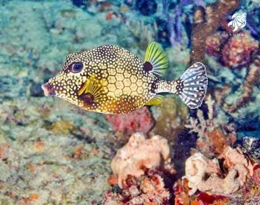 A smooth trunkfish, common in the Maya Riviera and in particular Akumal bays