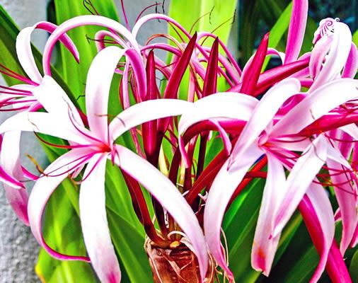 A rare tropical red crinum in bloom whihc attracts many hummingbirds and butterflies