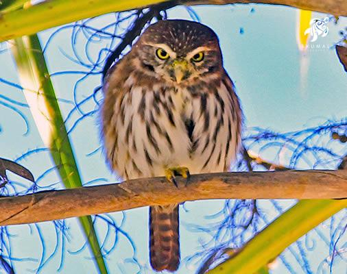 The Mayan Pigmy Owl, a rare bird, is a frequent visitor to our gardens