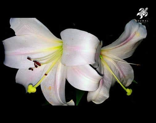 La Sirena's gardens have a variety of blooming plants such as this white Crinum Lilly