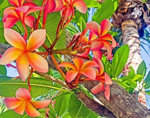 A variegated plumeria in bloom